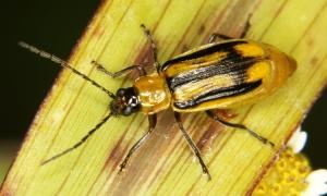 insecte-evolue-pour-manger-du-mais-ogm-empoisonne002