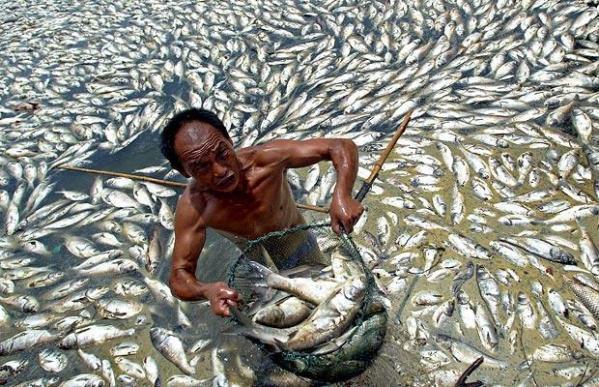 Des millions de poissons morts...