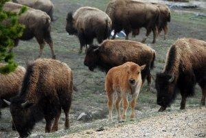 Toutes mes pensées vont  vers ces superbes Bisons du Parc de Yellowstone.Je leur souhaite de vivre le plus longtemps possible.
