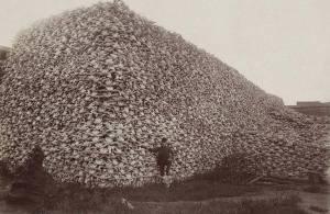 Si une image vaut mille mots, alors cette image vaut des milliers de bisons. Cette photo des années 1870 montre un homme tenant fièrement devant une montagne de dizaines de milliers de crânes de bisons - une espèce américaine emblématique qui a été systématiquement abattue par millions par  les Américains  d'origine européenne installés à l'ouest.    L'armée américaine a activement approuvé le massacre de ces animaux pour deux raisons principales: pour éliminer toute concurrence avec le bétail, et à laisser mourir de faim les tribus amérindiennes qui dépendaient fortement du bison pour la nourriture. Sans le bison, les tribus résistant de la Great Plains seraient soit obligés de partir ou mourir de faim.