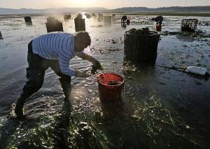 Un travailleur récolte des huîtres de Goose Point Oyster Co. la famille Nisbet dans Willapa Bay. Après l'acidification des océans a commencé à tuer des milliards d'huîtres de bébé le long de la côte de Washington, à la fois dans la nature et dans les écloseries où les Nisbets acheté leurs naissains d'huîtres, la famille a pris une mesure radicale. Ils ont ouvert une écloserie à Hawaii.