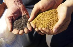 Les producteurs de maïs-grains biologiques du Québec connaissent de plus en plus de difficultés à livrer une récolte sans traces d'organismes génétiquement modifiés (OGM).