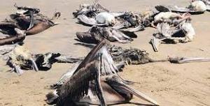 Le 6 mai 2012,en moins de deux semaines, 1500 pélicans ont été retrouvés morts sur près de 200 km de côtes à Piura.