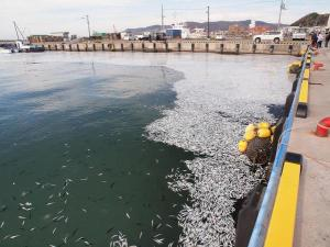 Près d'Hokkaîdo,c'est tout le litoral qui   témoignait de la mort massive de milliers de poissons,surtout des sardines.
