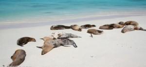 Les lions de mer ...morts donnent une terrible impression.