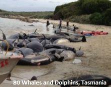 Ce sont des centaines de baleines et de dauphins qui se sont échoué en Tasmanie depuis le début de 2014.