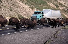 Les magnifiques bisons de Yellowstone.