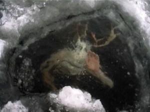 Cet être étrange fut photographié alors qu'il frappait...sous la glace,en hiver...