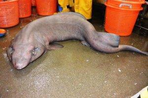 Un étrange requin adapté aux profondeurs marines.