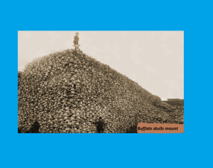 Durant les années 1870, les bisons avaient tellement  été chassés que cette folie tourna à la quasi-extinction. Voici une photo d'une montagne de crânes de bison, pour montrer juste combien ont été tués ces beaux animaux dans un court laps de temps.