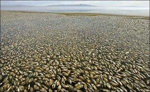 À cause de plus de 450 tonnes d'eau irradiée rejetée à la mer,ce sont des millions de poissons morts que nous retrouvons,maintenant,face à la baie de Fukushima et sur les plages japonaises.