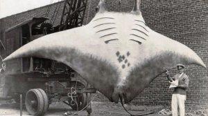 En 1933,le capitaine Al Khan pris cette raie de mer manta géante. À 5000 livres, cette  raie  manta a presque détruit un bateau après avoir été pris dans la ligne d'ancrage. Elle devait  être tué avec un fusil de grande puissance par la Garde côtière.