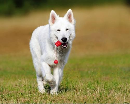 chien-blanc-courant-dans-lherbe